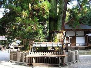 巳の神杉(みのかみすぎ)